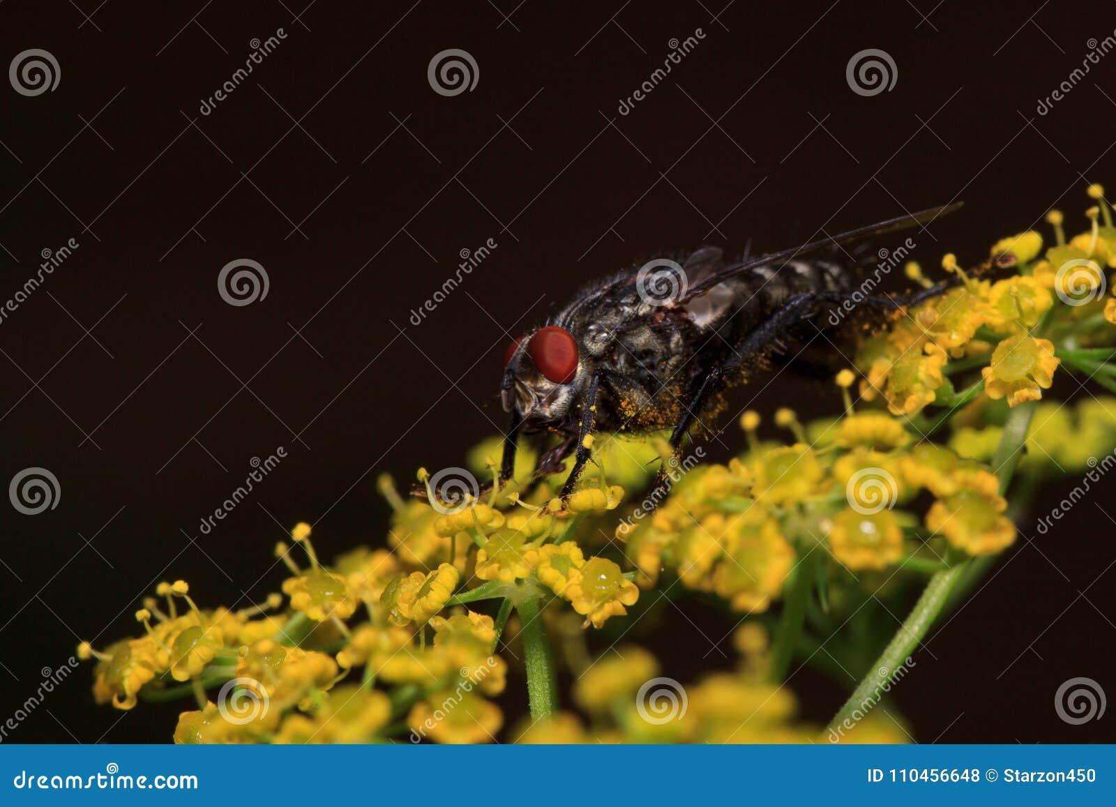 Flugan sitter på små gula blommor Djur i djurliv