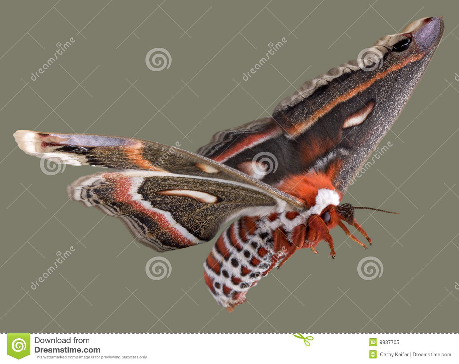 Flugwesen Cecropiamotte