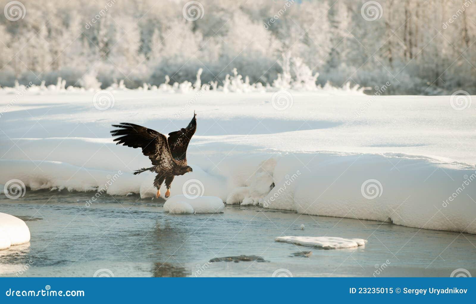 Flugwesen des kahlen Adlers