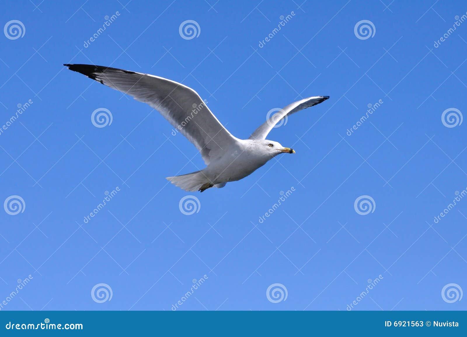 Flugwesen-Seemöwe
