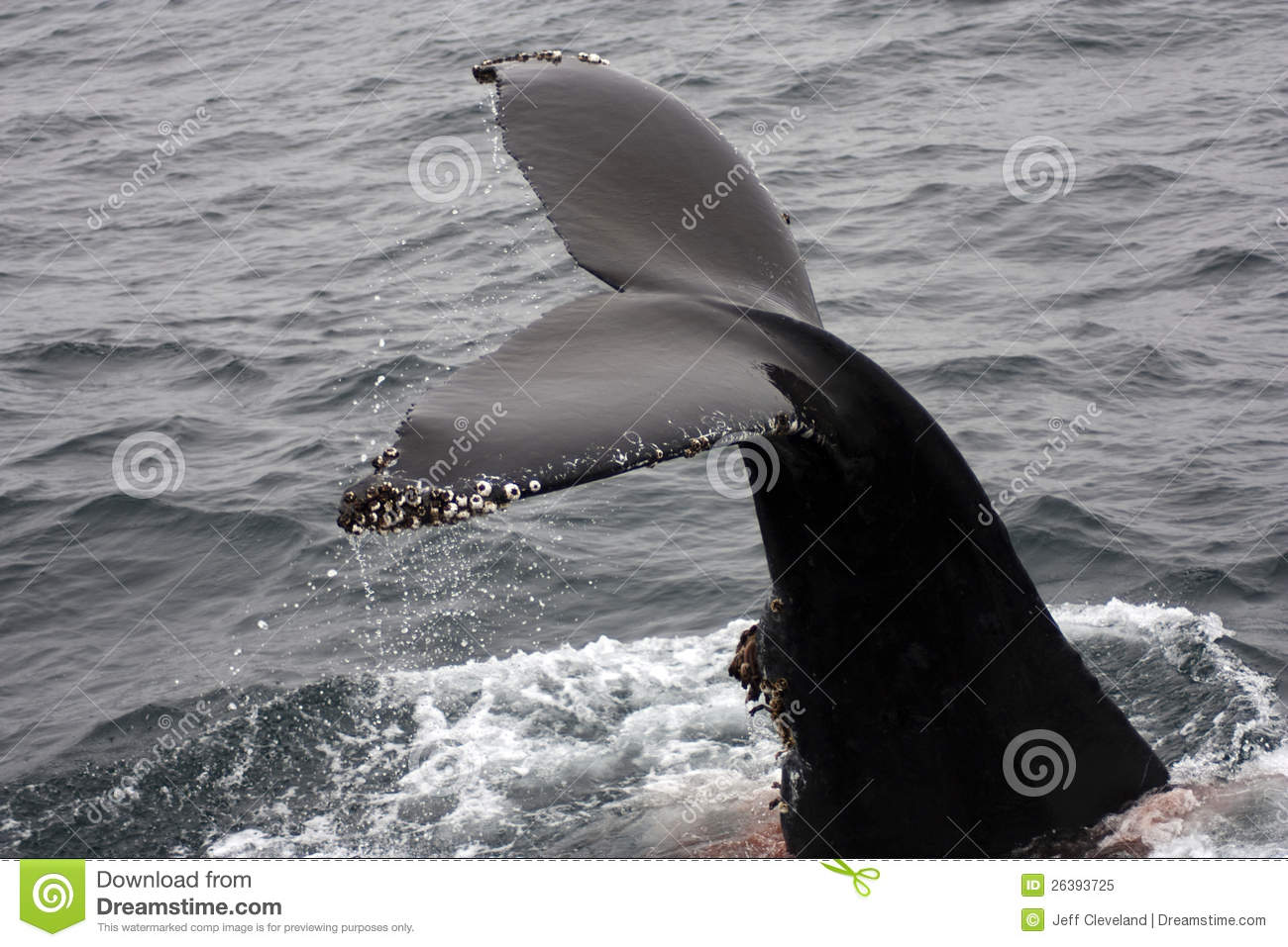 Flukes Out Of Water Humpback Whale Barnacles Royalty Free ...