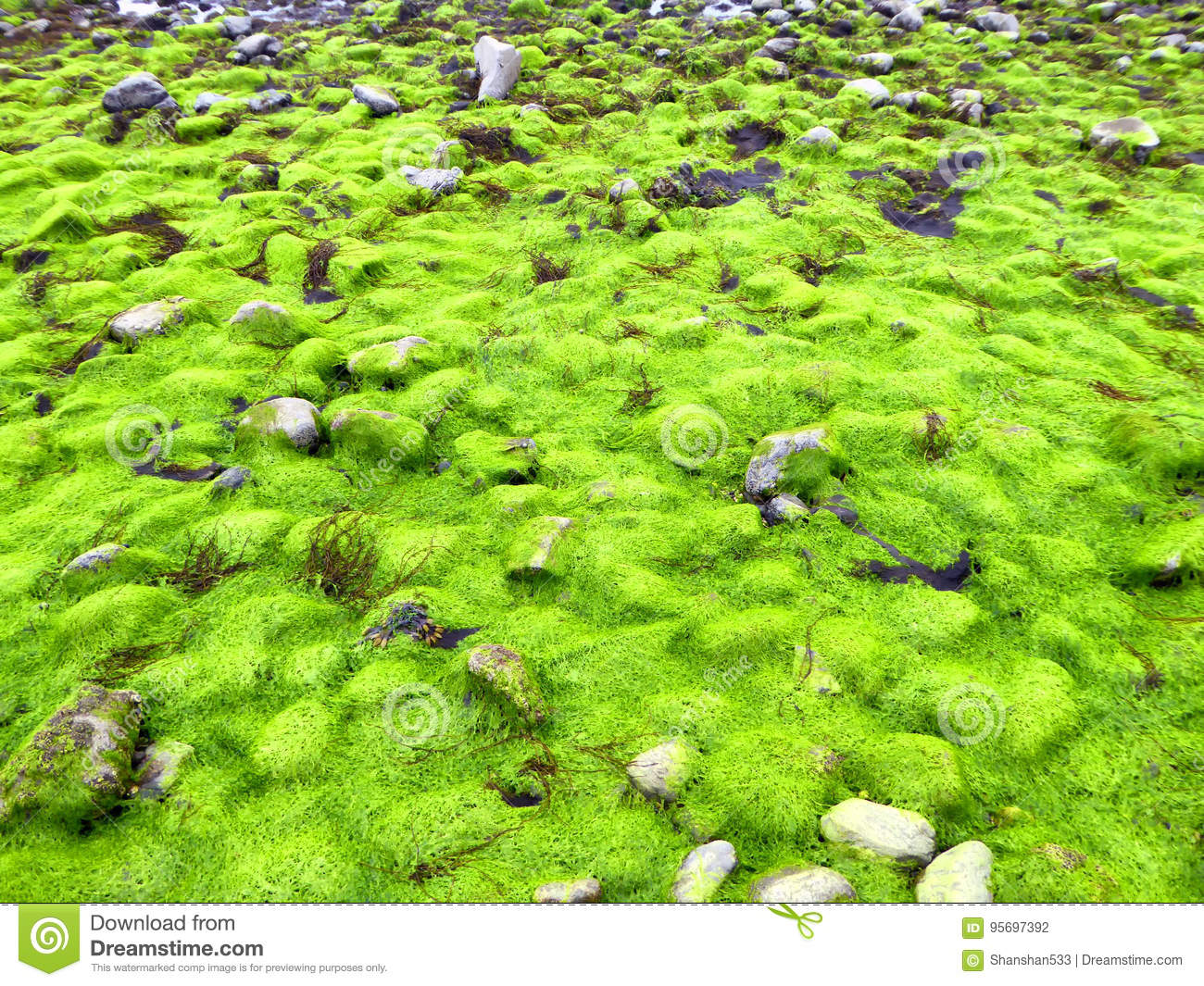 Fluorescent Green Sea Lettuce Ulva Lactuca Seaweed Stock Photo