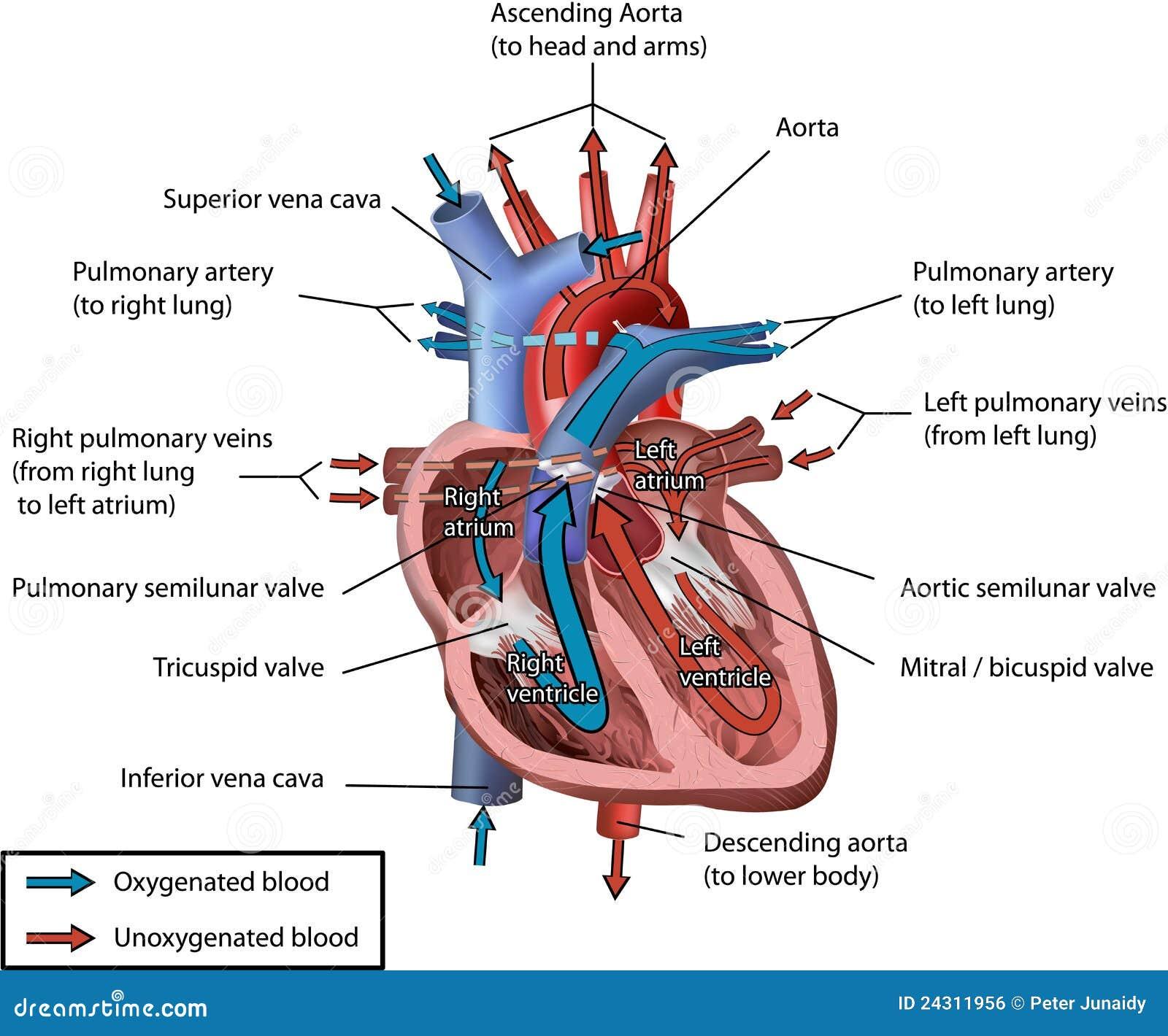 Top Flusso Sanguigno Umano Del Cuore Illustrazione Vettoriale  YV05