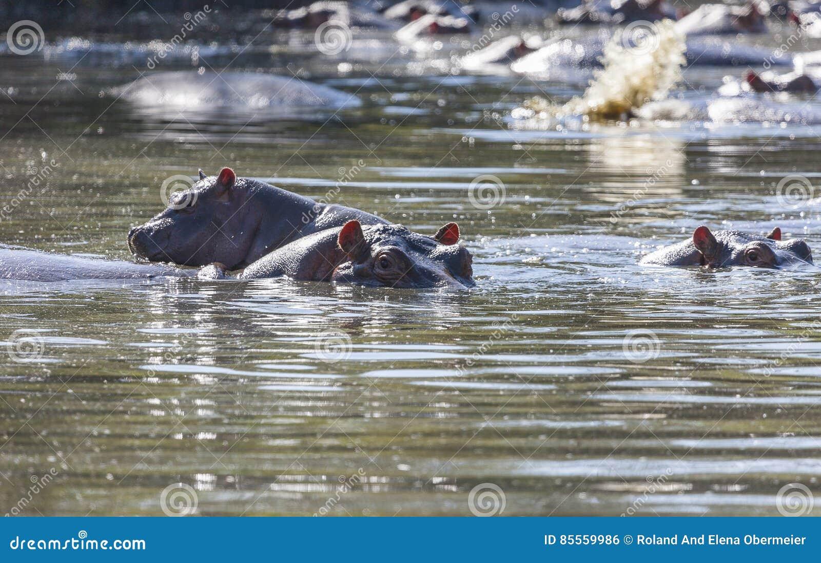 Flusspferde in einem waterhole des Serengeti