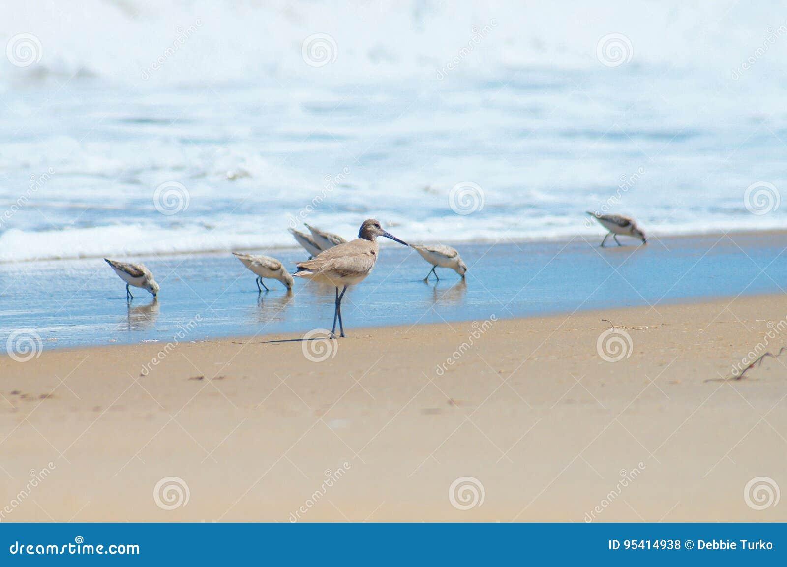Flussuferläufer in einer Gruppe an der Küstenlinie