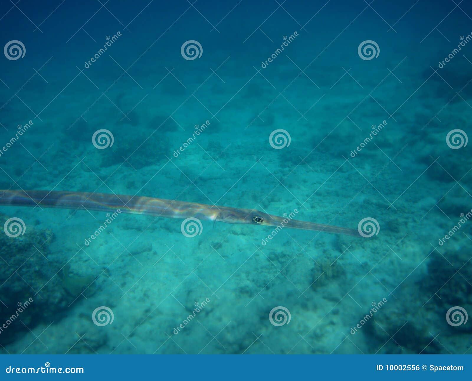 flutefish红海.