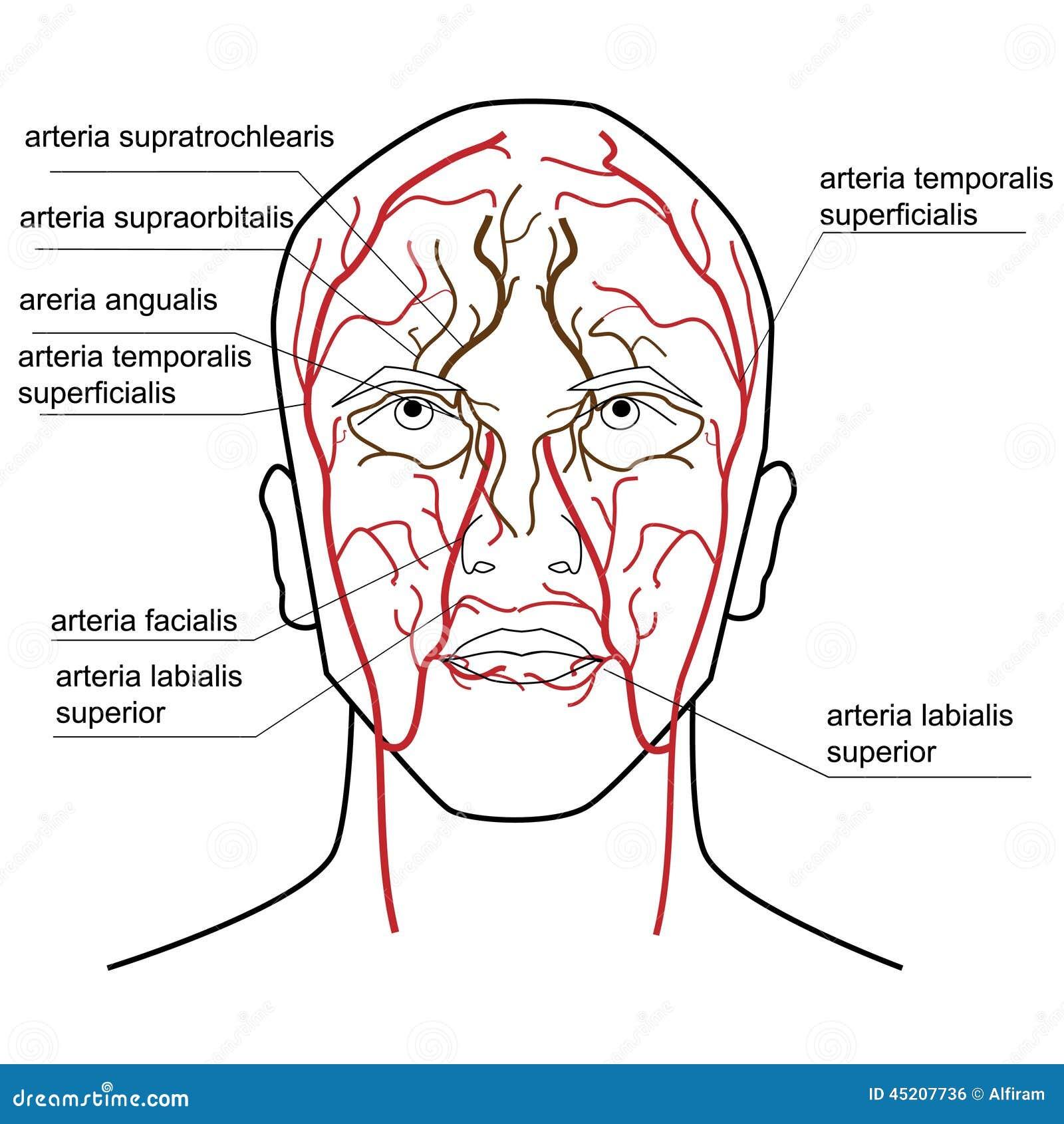 Fluxo sanguíneo da cabeça