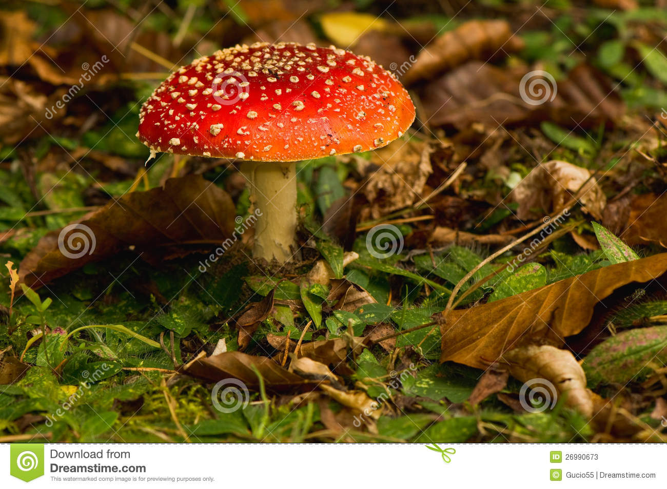 Download Fly Agaric, Amanita Muscaria Stock Image - Image of fresh, autumn: 26990673