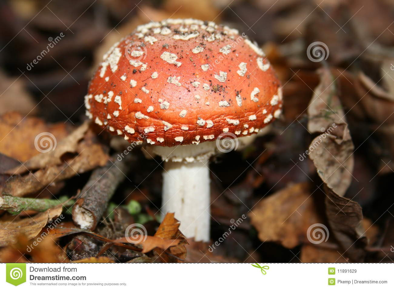 Download Fly agaric fungi stock image. Image of mushroom, funghi - 11891629