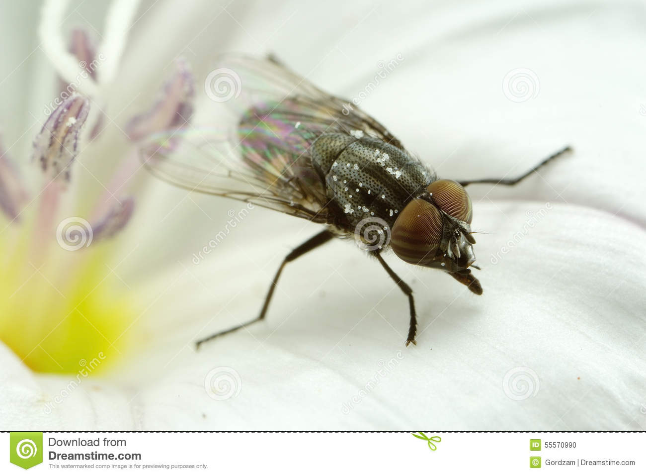 Some type of fly with striped eyes on a flower this fly is only found among the vegetation unlike the more common housefly which is usually found near all