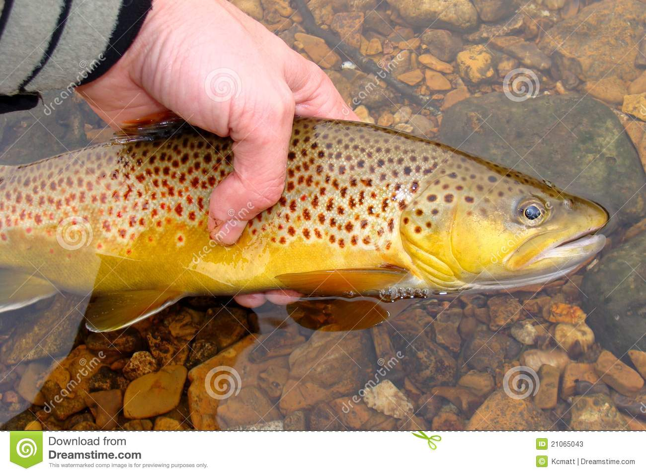 Fly Fishing, Releasing Beautiful Brown Trout Stock Image ...