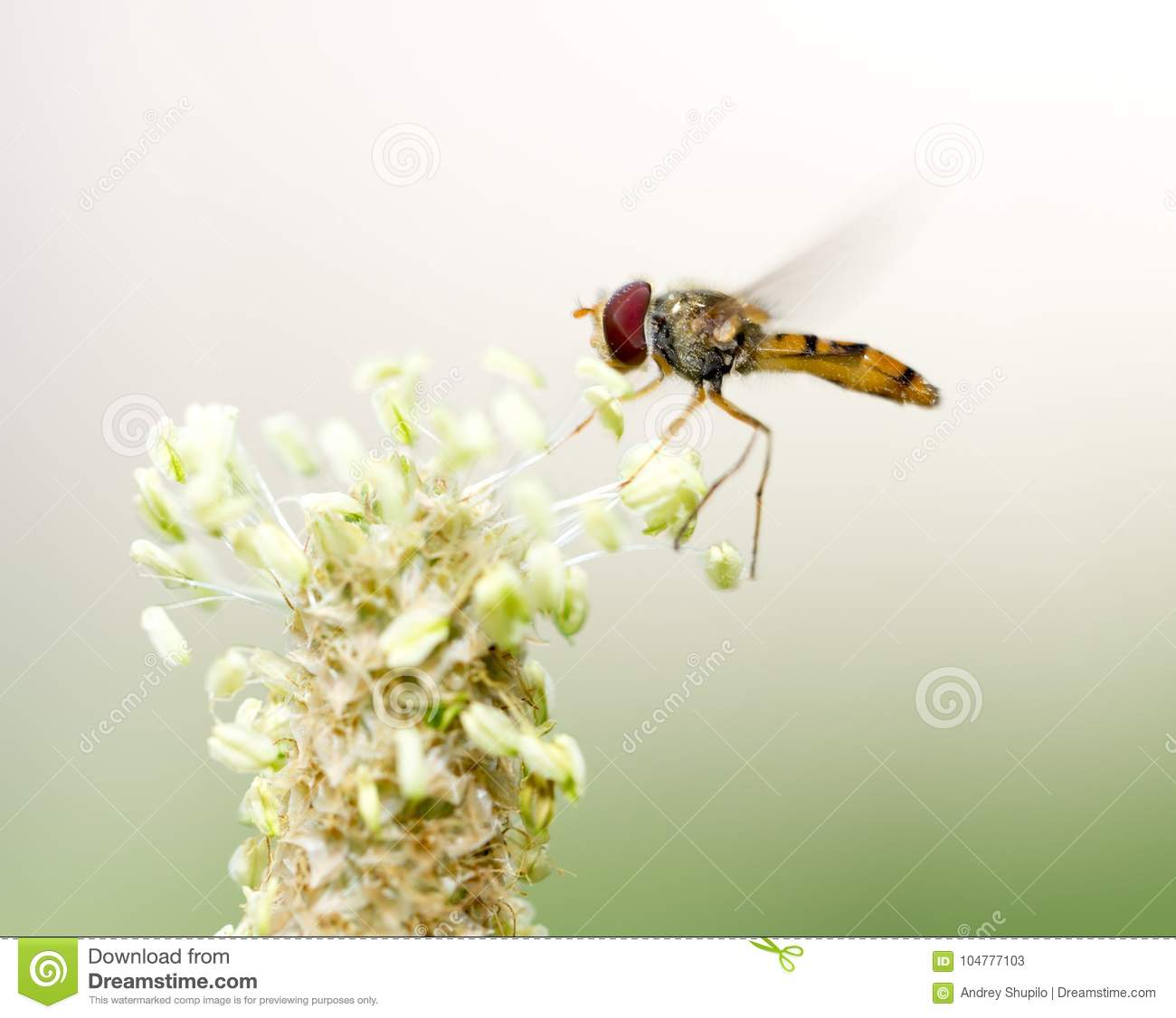 Fly in flight in nature. macro