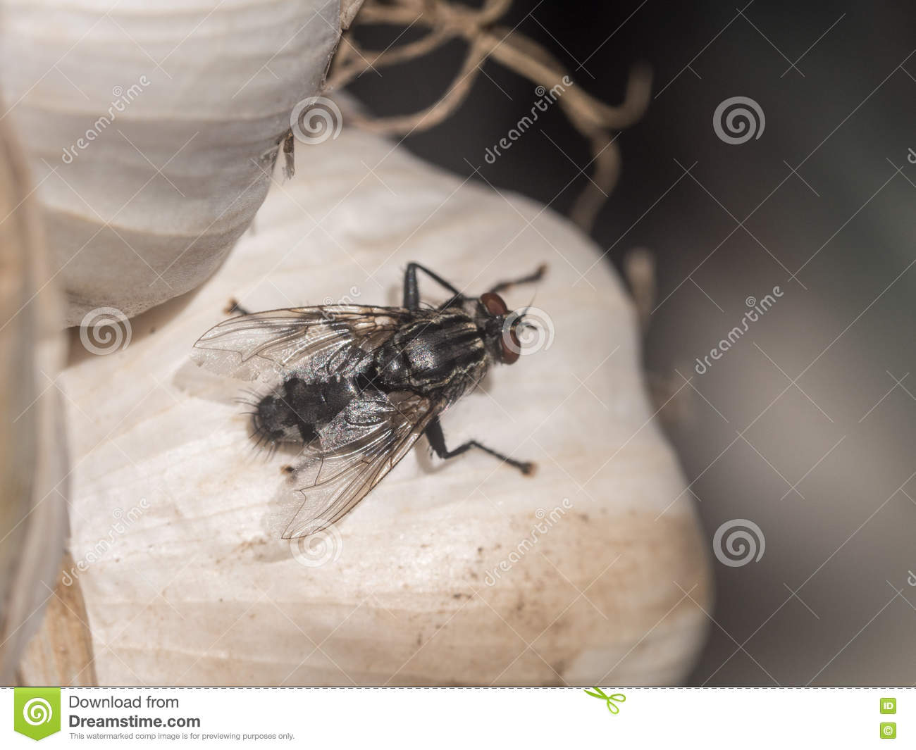 Fly on a garlic clove stock image  Image of color, flavour - 76712415