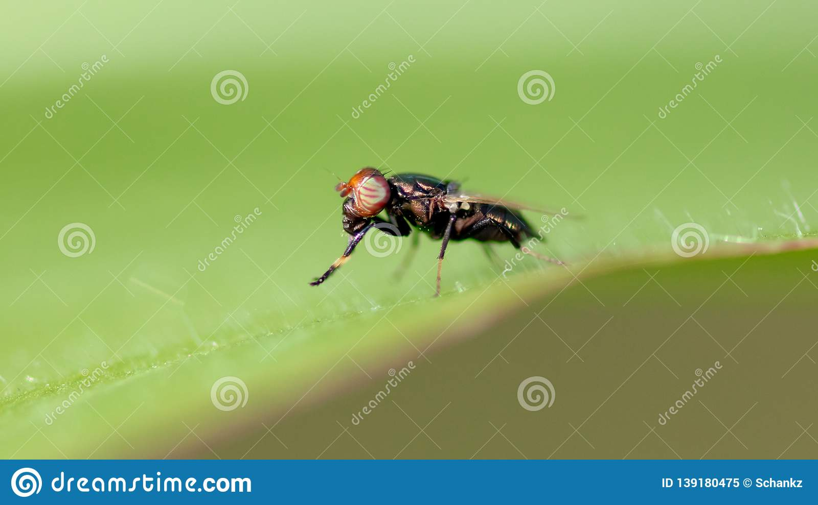 Fly on a green leaf in nature