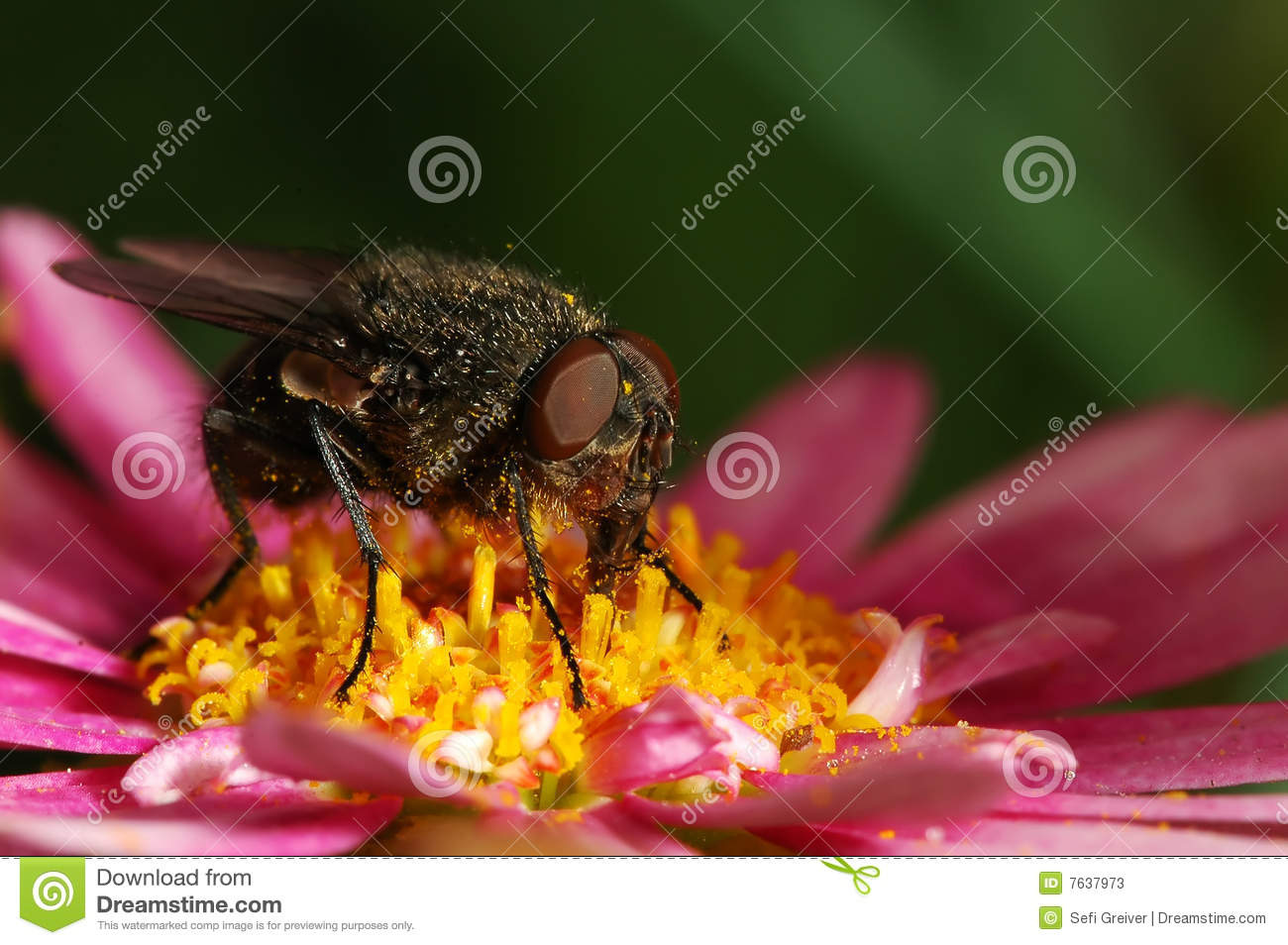 Fly on a Pink Daisy In The Dark