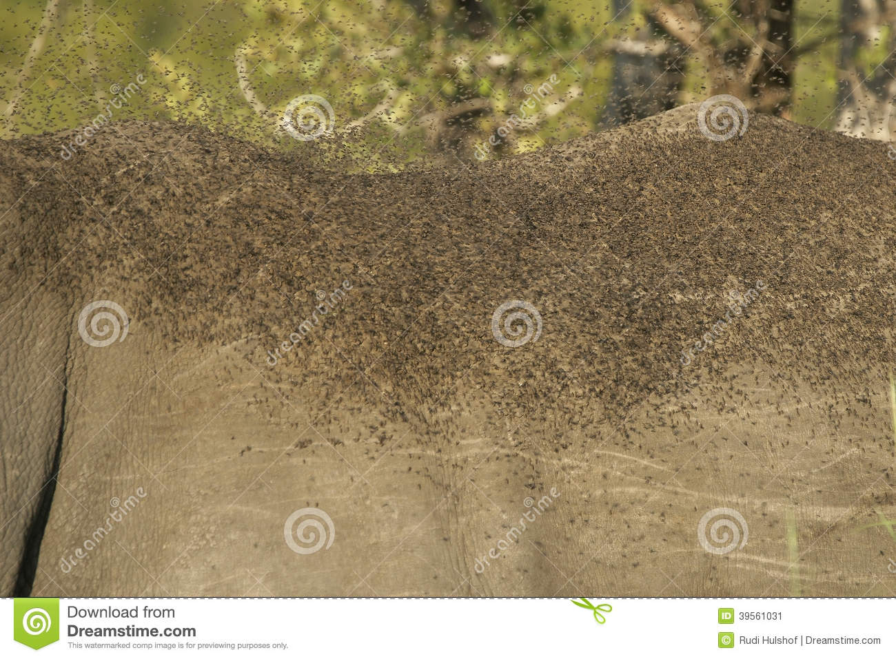 Fly plague on Rhino stock image  Image of eating, outdoors