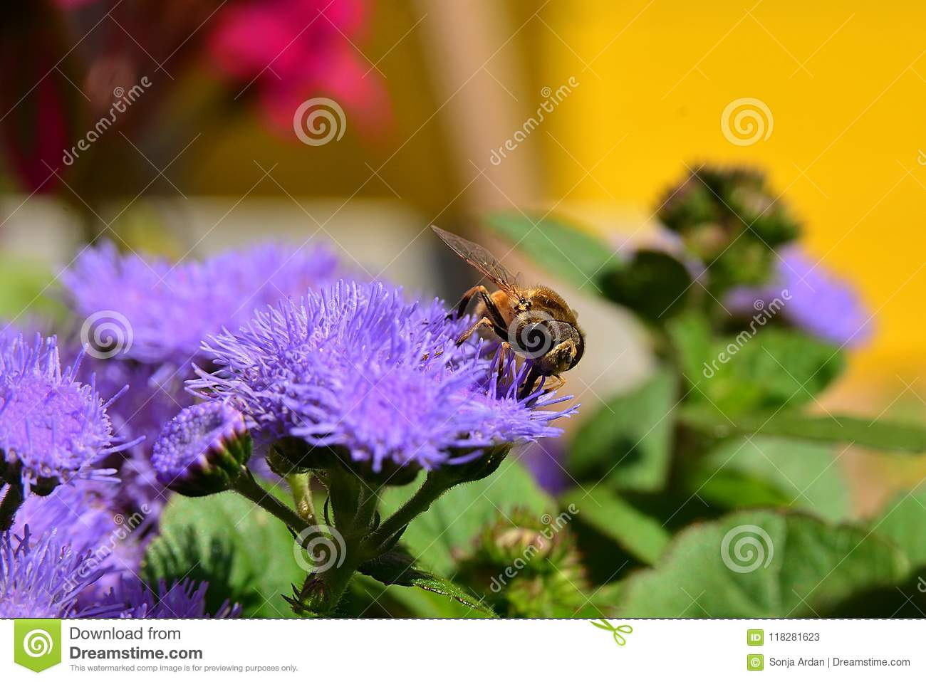 Fly On A Purple Flower Close Ap Stock Image Image Of Closeap