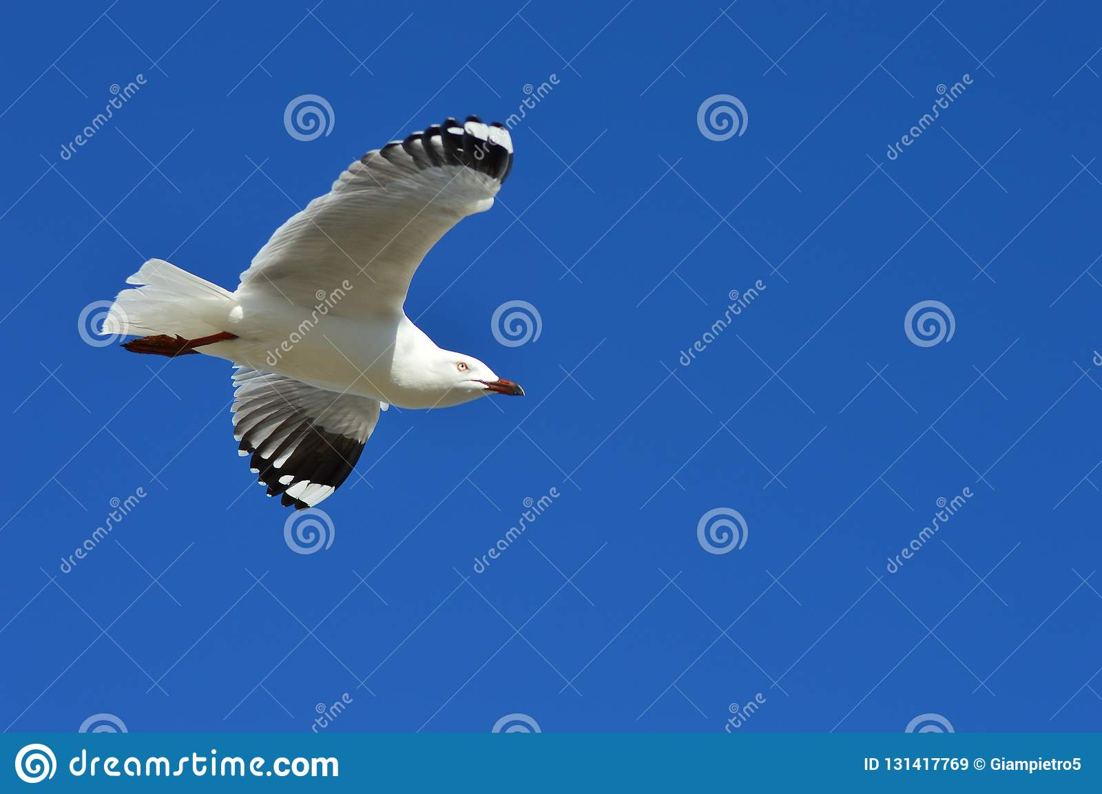 Fly of a seagull stock image  Image of animal, island - 131417769