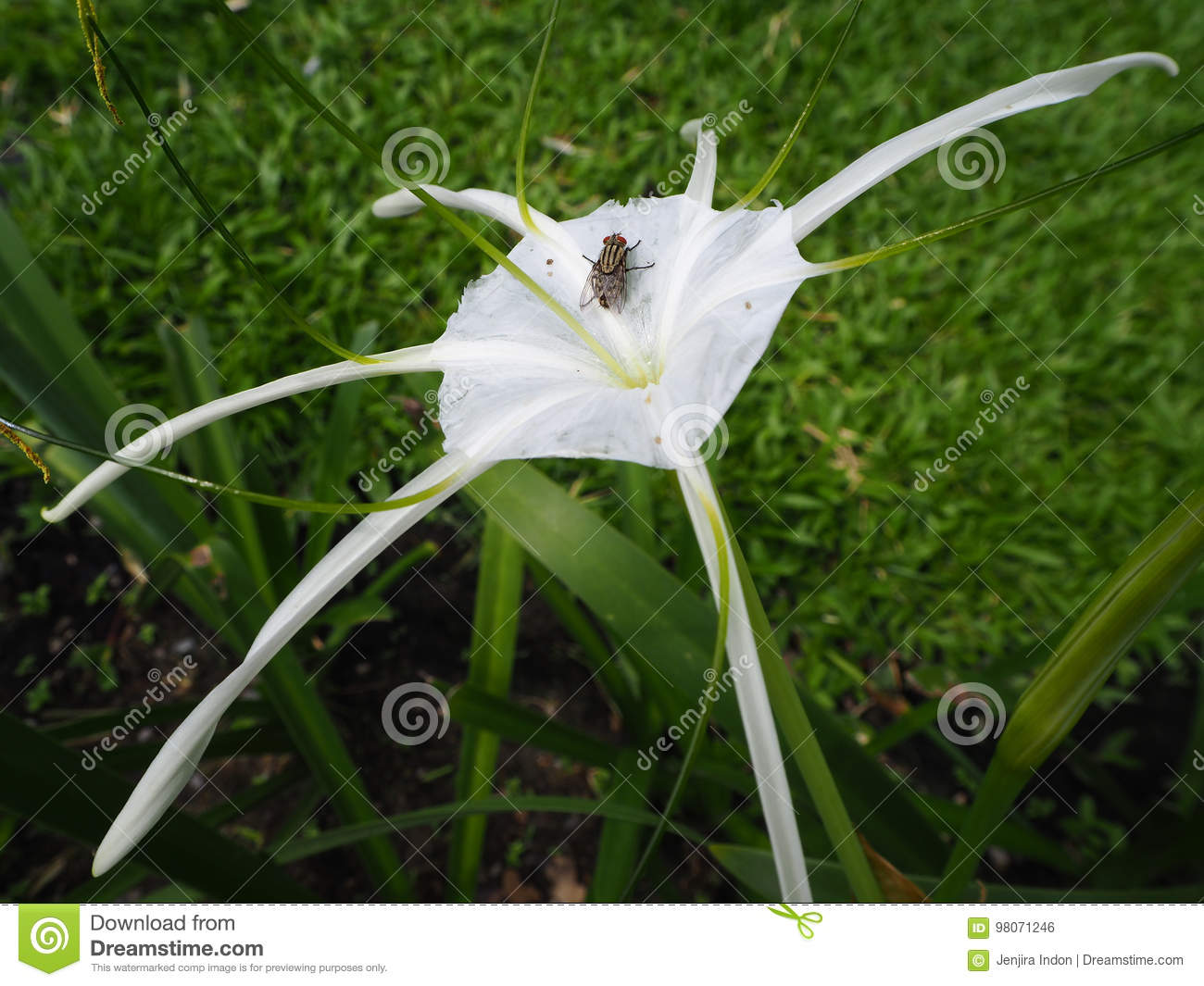 The fly on the spider lily flower stock photo image of background the fly on the spider lily flower izmirmasajfo Image collections