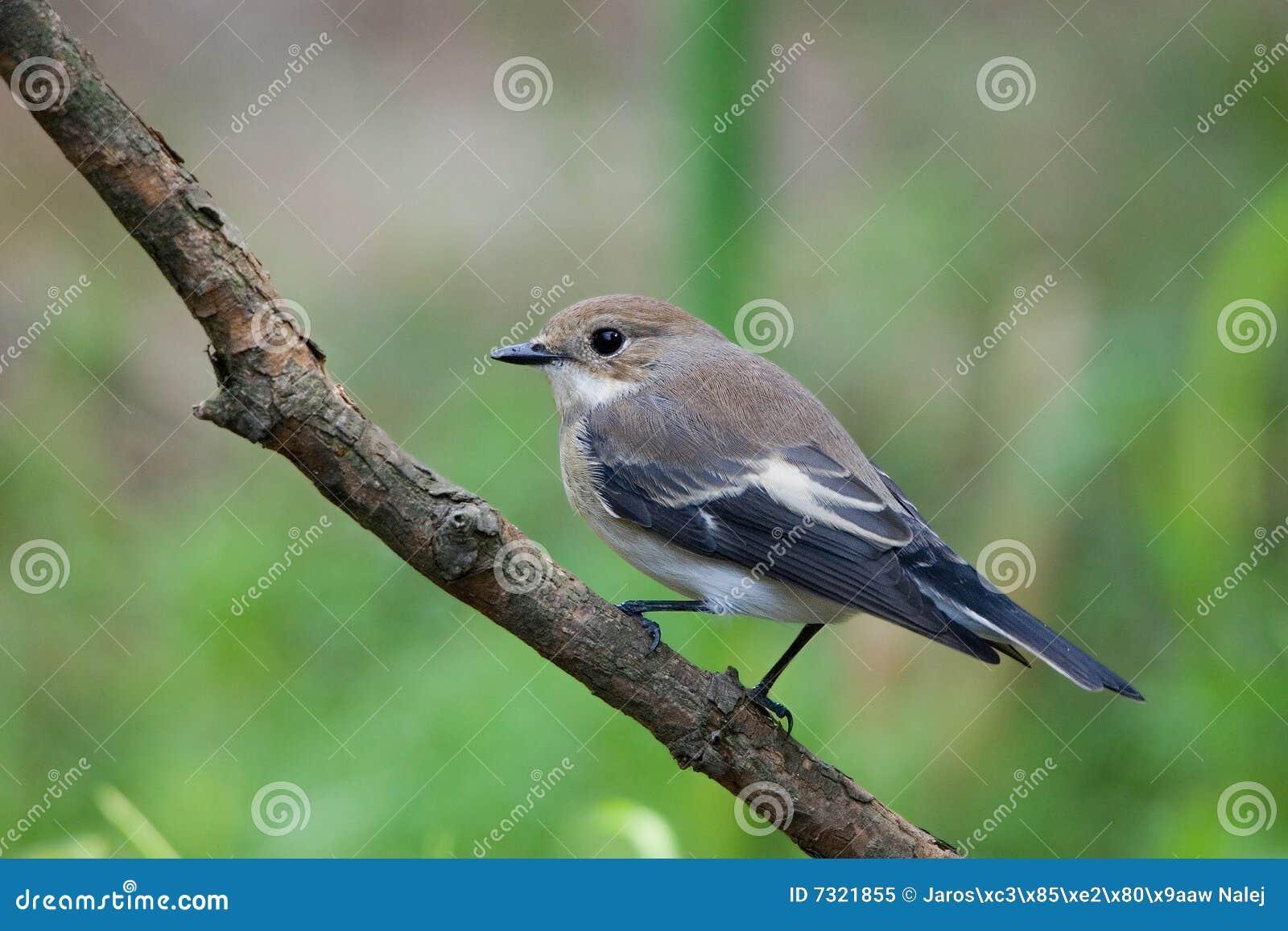 Flycatcher de varios colores