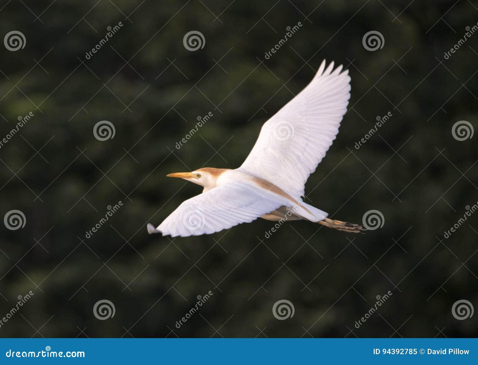 Flyg för nötkreaturägretthäger