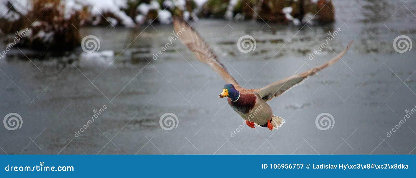 Flyga anden över dammet