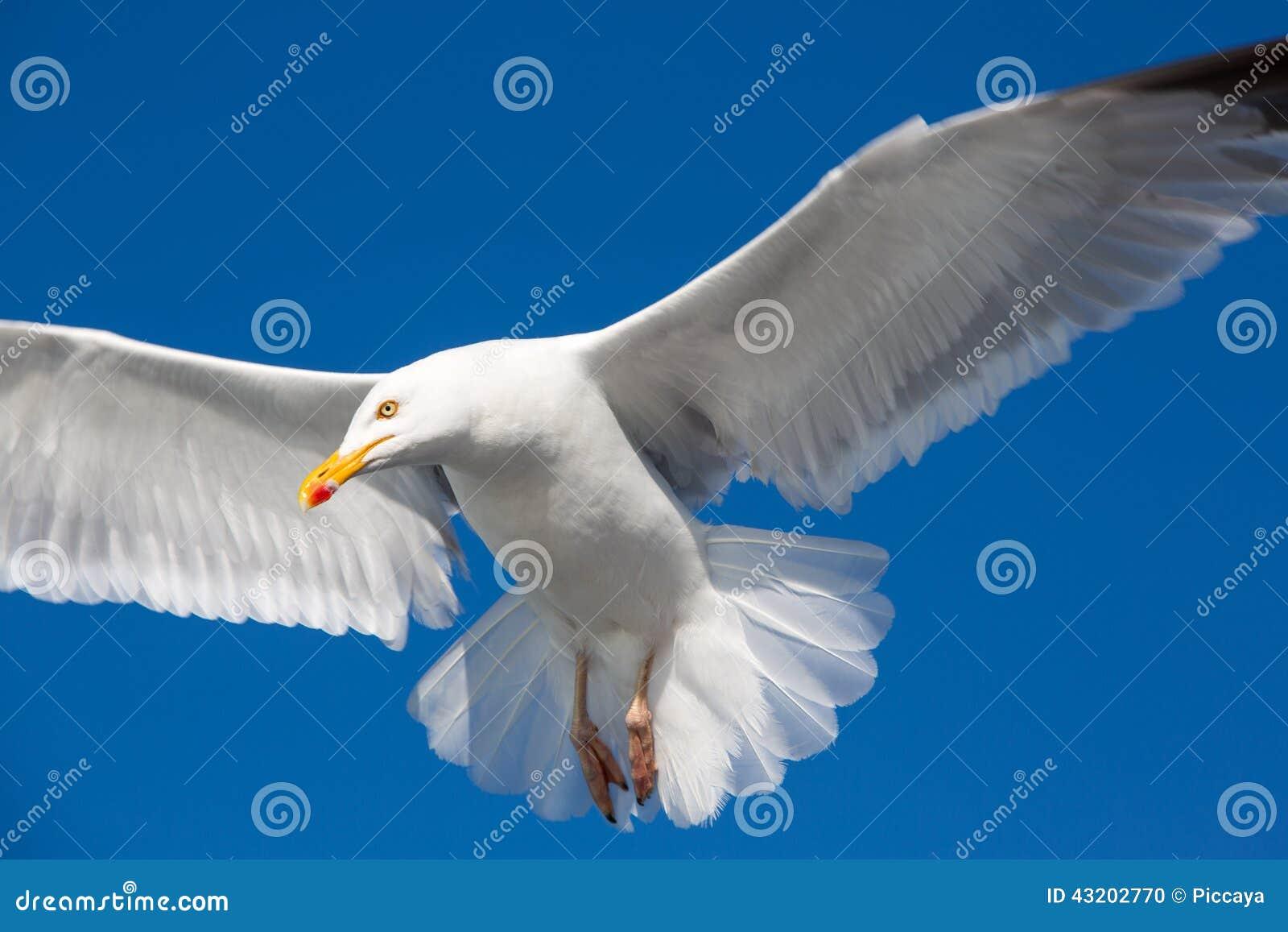 Download Flyga Den Utmärkt Svart-drog Tillbaka Fiskmåsen I Brittany Arkivfoto - Bild av waterbird, flyg: 43202770