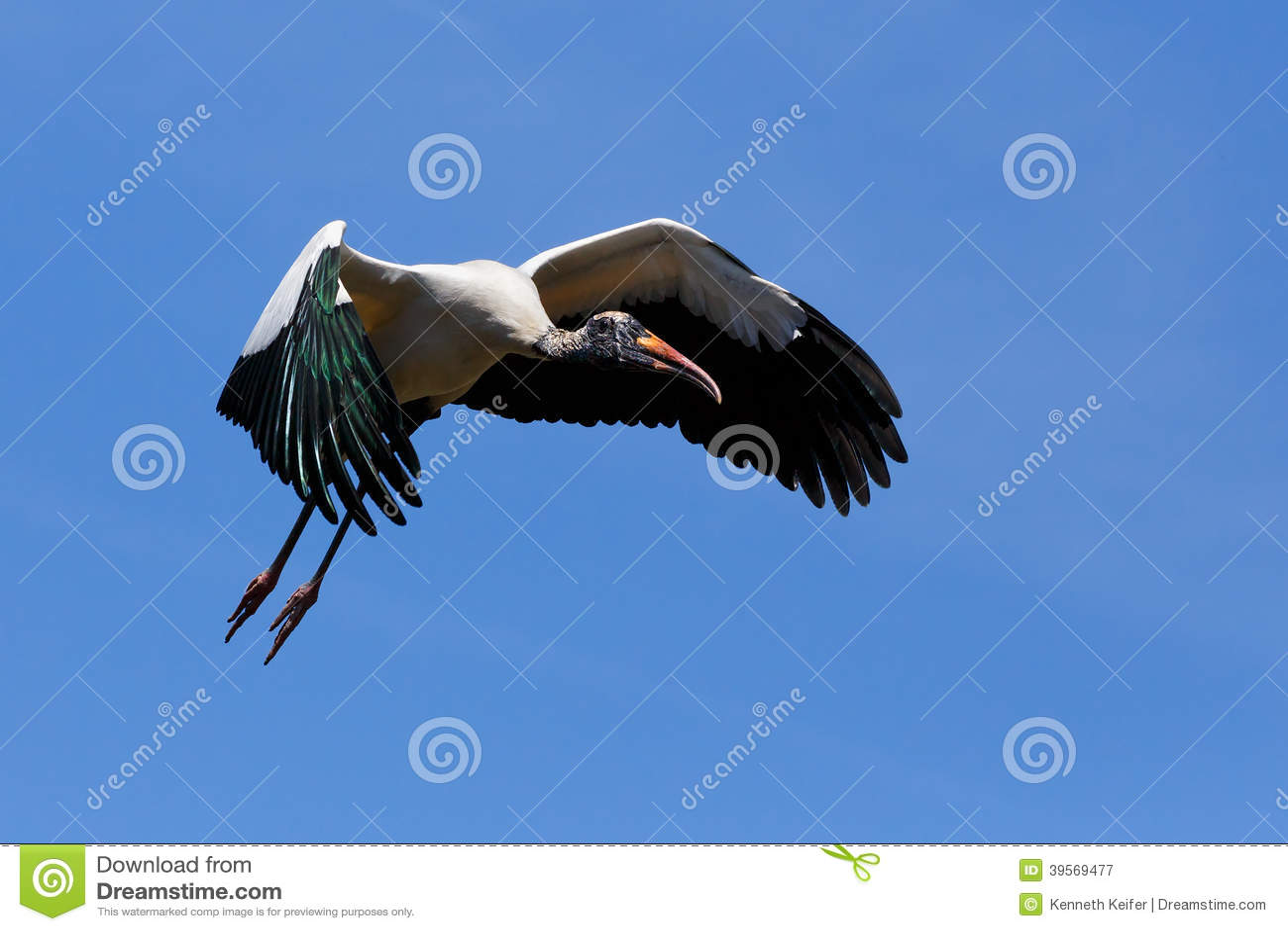 Flyga den Wood storken