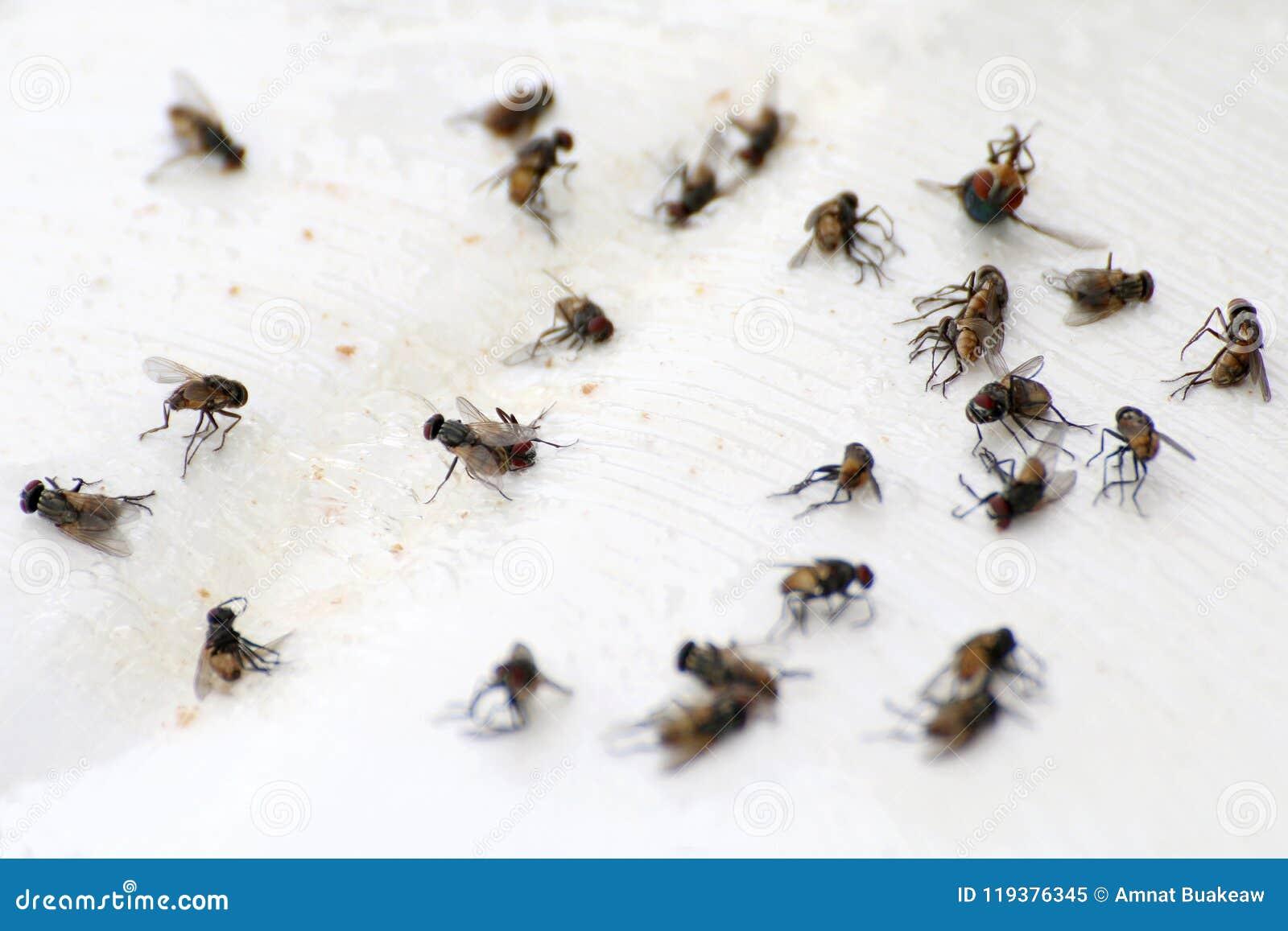 Flyga högflugan, closeup många massan av flugaflugan som är död på vit jordning, flugor är bärare av tyfustuberkulons