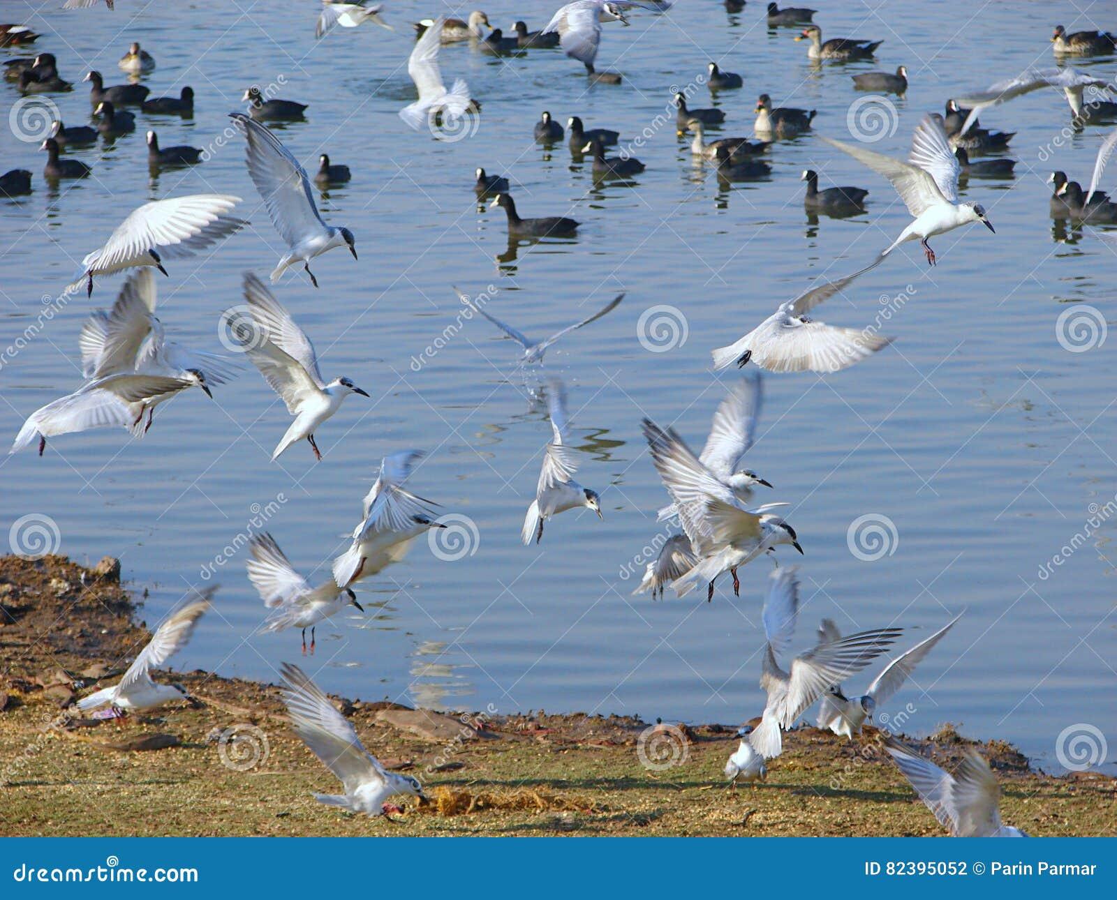 Flyga med polisonger tärnor på Randarda sjön, Rajkot