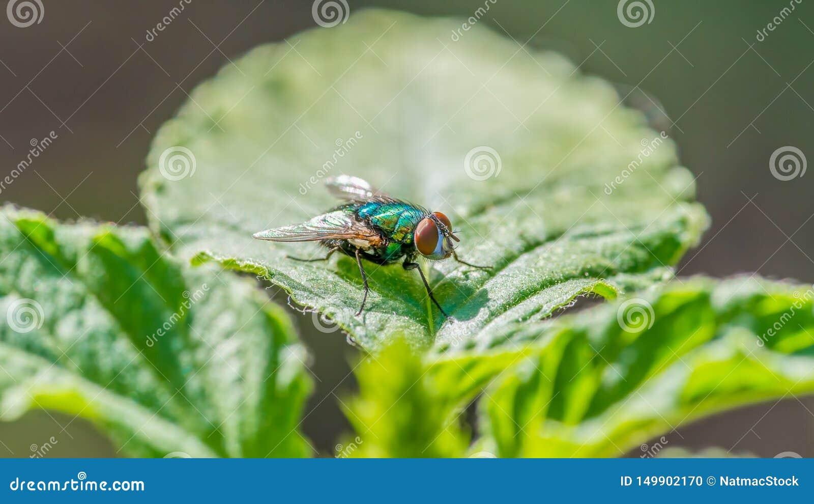 Flyga på ett blad - stor detalj av framsidan, bröstkorgen och vingar