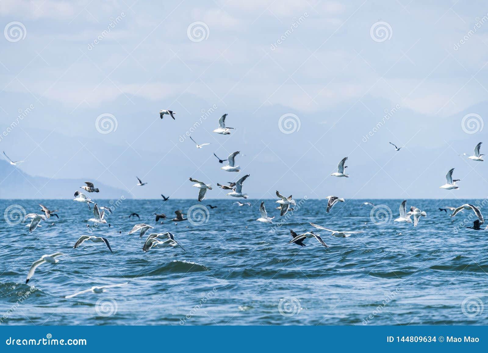 Flyga seagullen på havet av Okhotsk, Ryssland