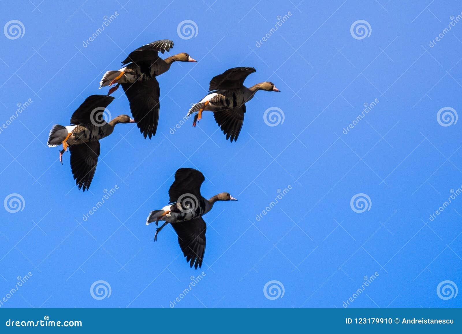 Flyga större Vit-beklädde gässAnseralbifrons som förbereder sig att landa