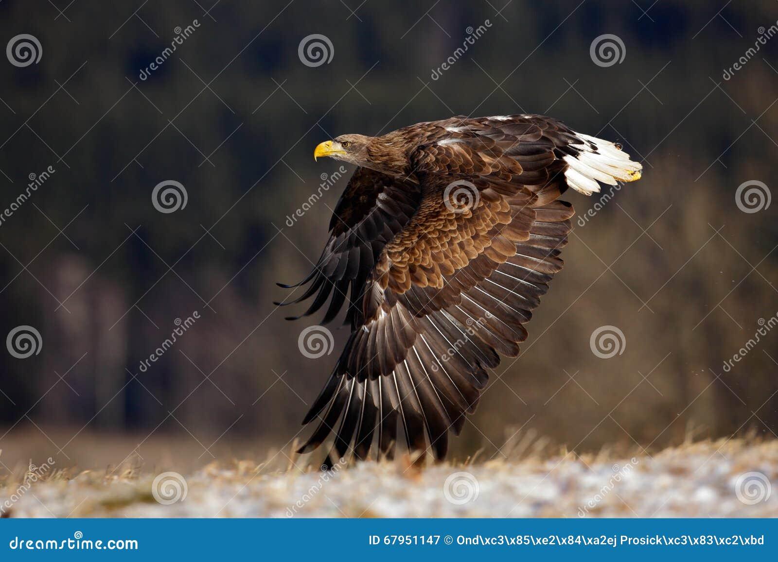 Flyga stora fåglar av rovet Vit-tailed Eagle ovanför äng med öppna vingar