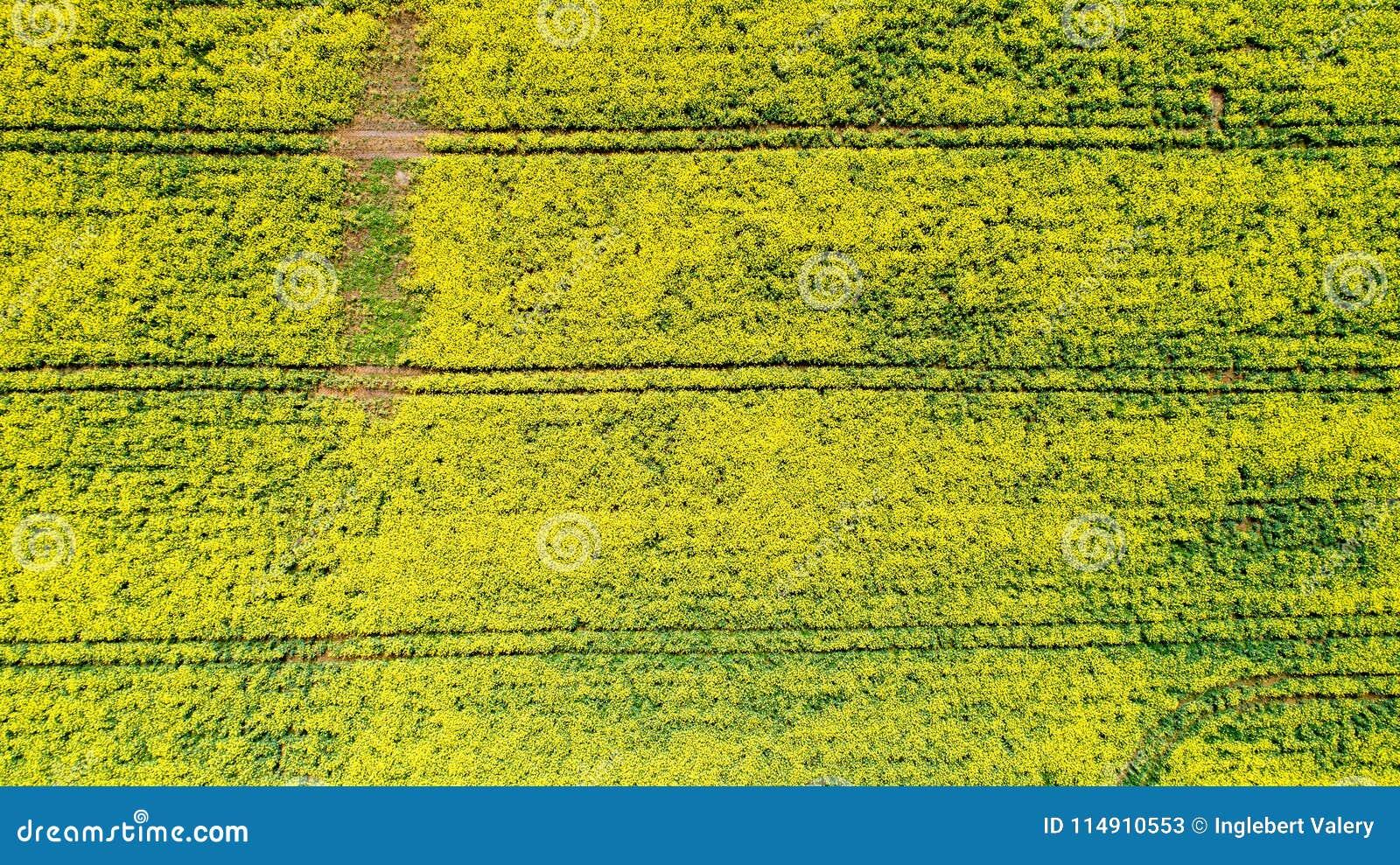 Flygbild av rapsfröblommor, Frankrike