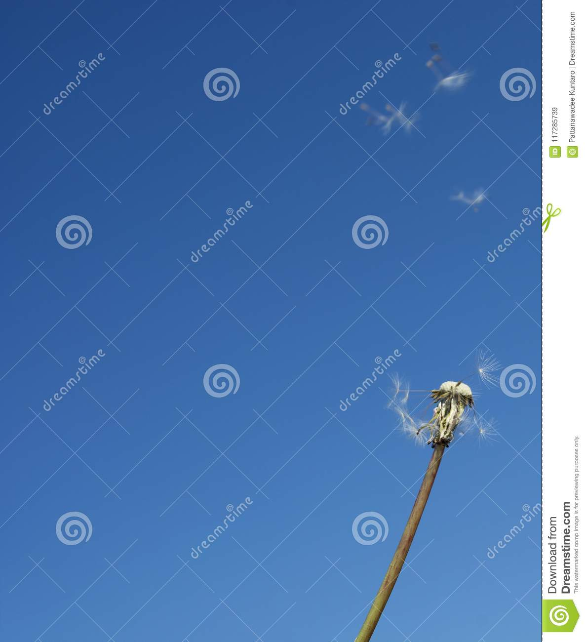 Flying Beautiful Dandelion Seeds In The Blue Sky Stock