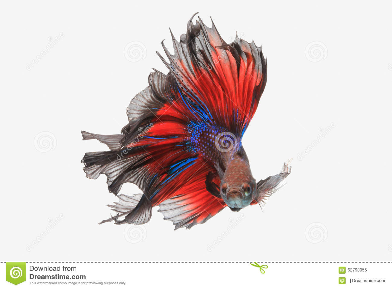 Flying betta fish stock image. Image of double, dress - 62798055