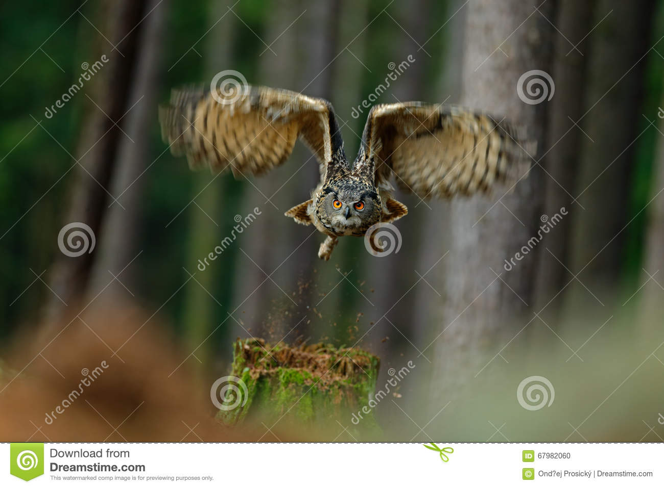 Flying bird Eurasian Eagle Owl with open wings in forest habitat with trees