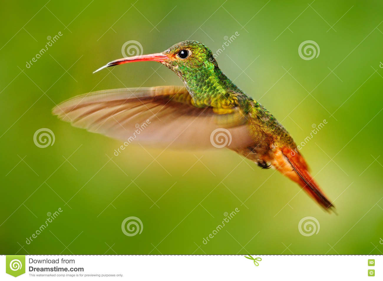 Flying bird, hummingbird Rufous-tailed Hummingbird. Hummingbird with clear green background in Ecuador. Hummingbird in the nature