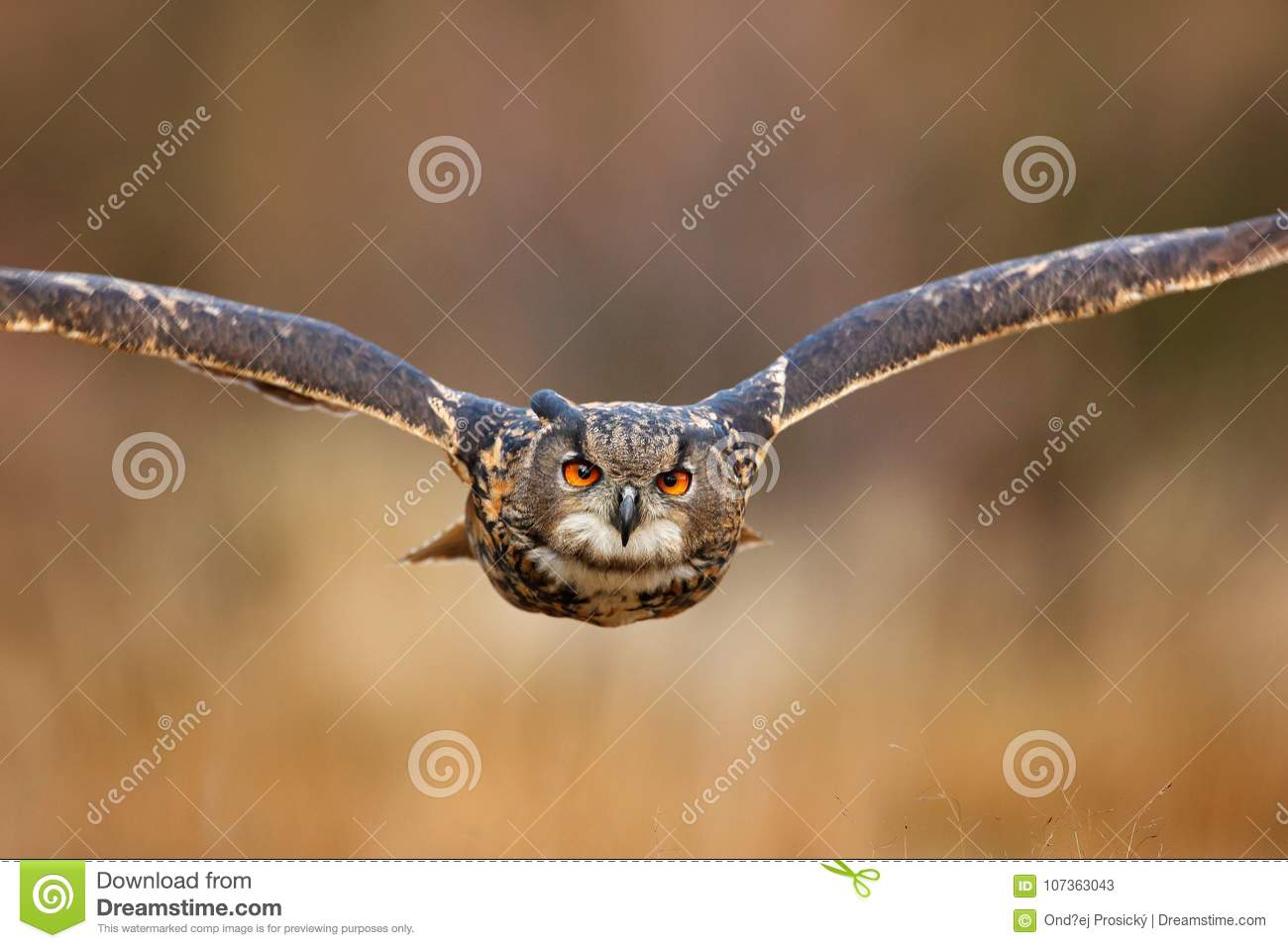 Flying bird with open wings in grass meadow, face to face detail attack fly portrait, orange forest in the background, Eurasian Ea