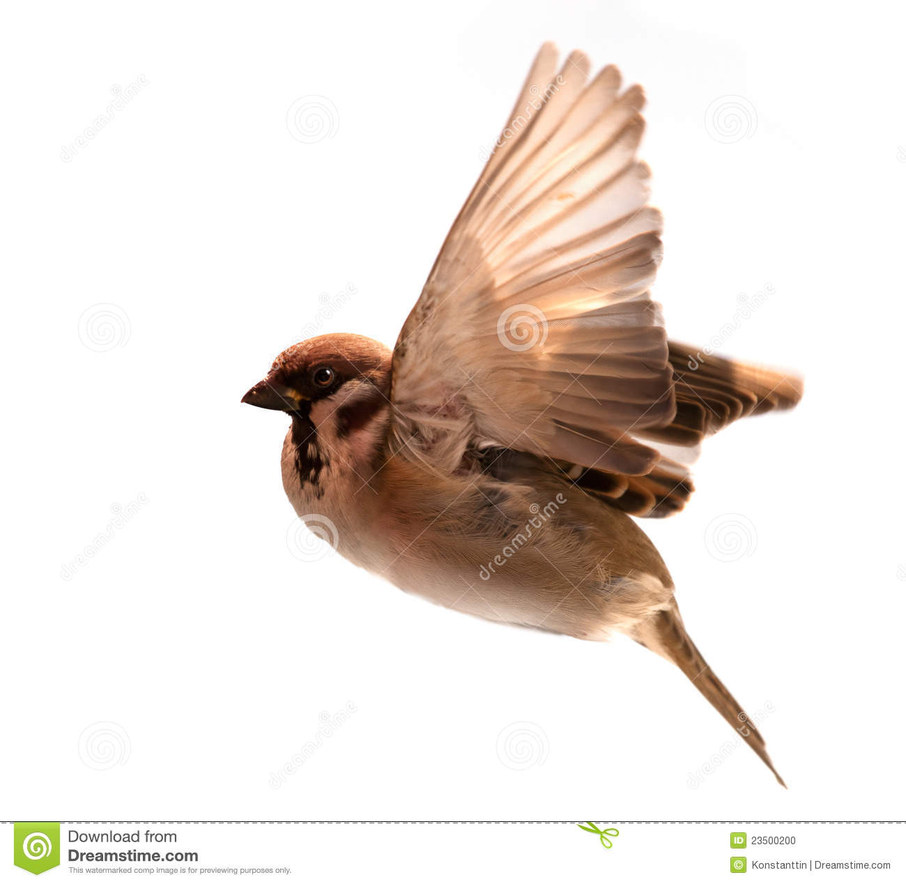 Flying bird sparrow isolated on white
