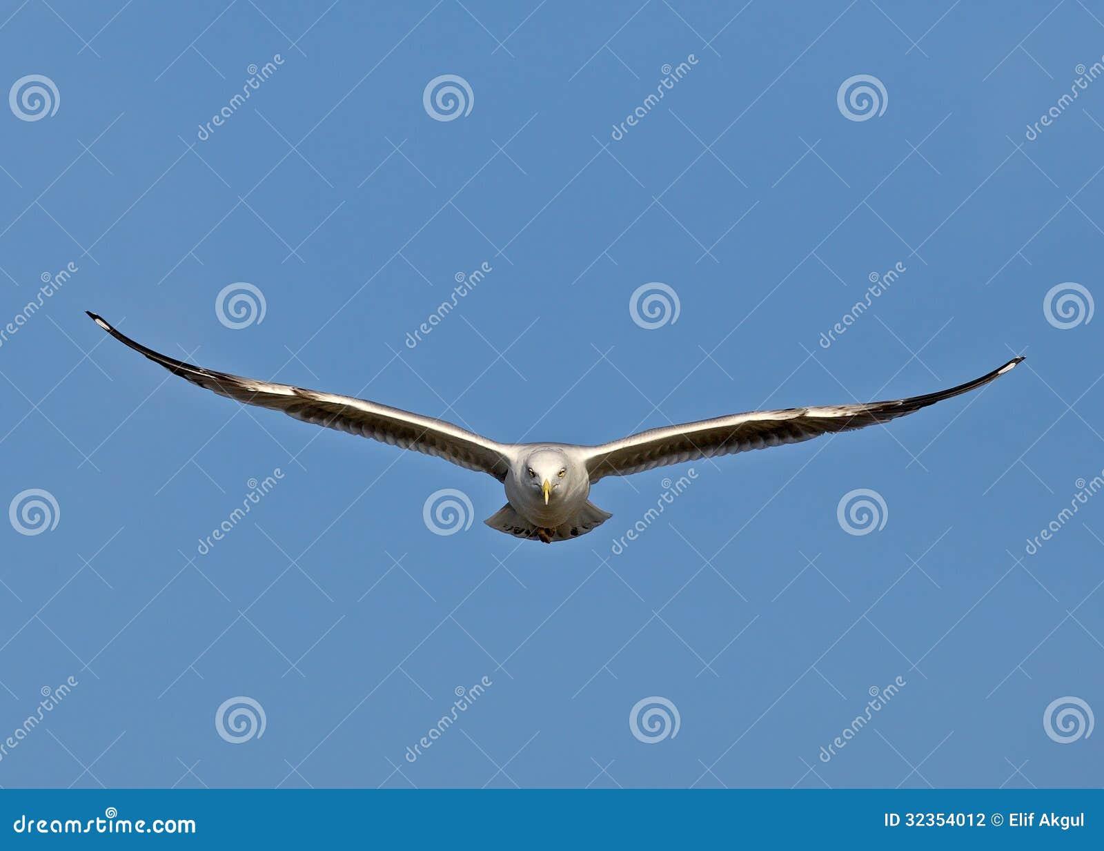 Stock Photography Flying Birds Bird Istanbul Turkey Bykekmece Image323...