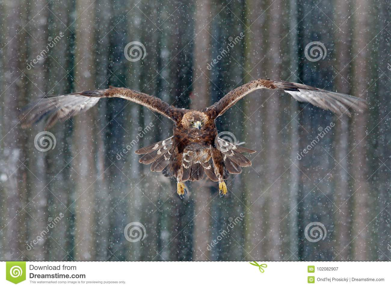 Flying birds of prey golden eagle with large wingspan, photo with snow flake during winter, dark forest in background. Wildlife sc