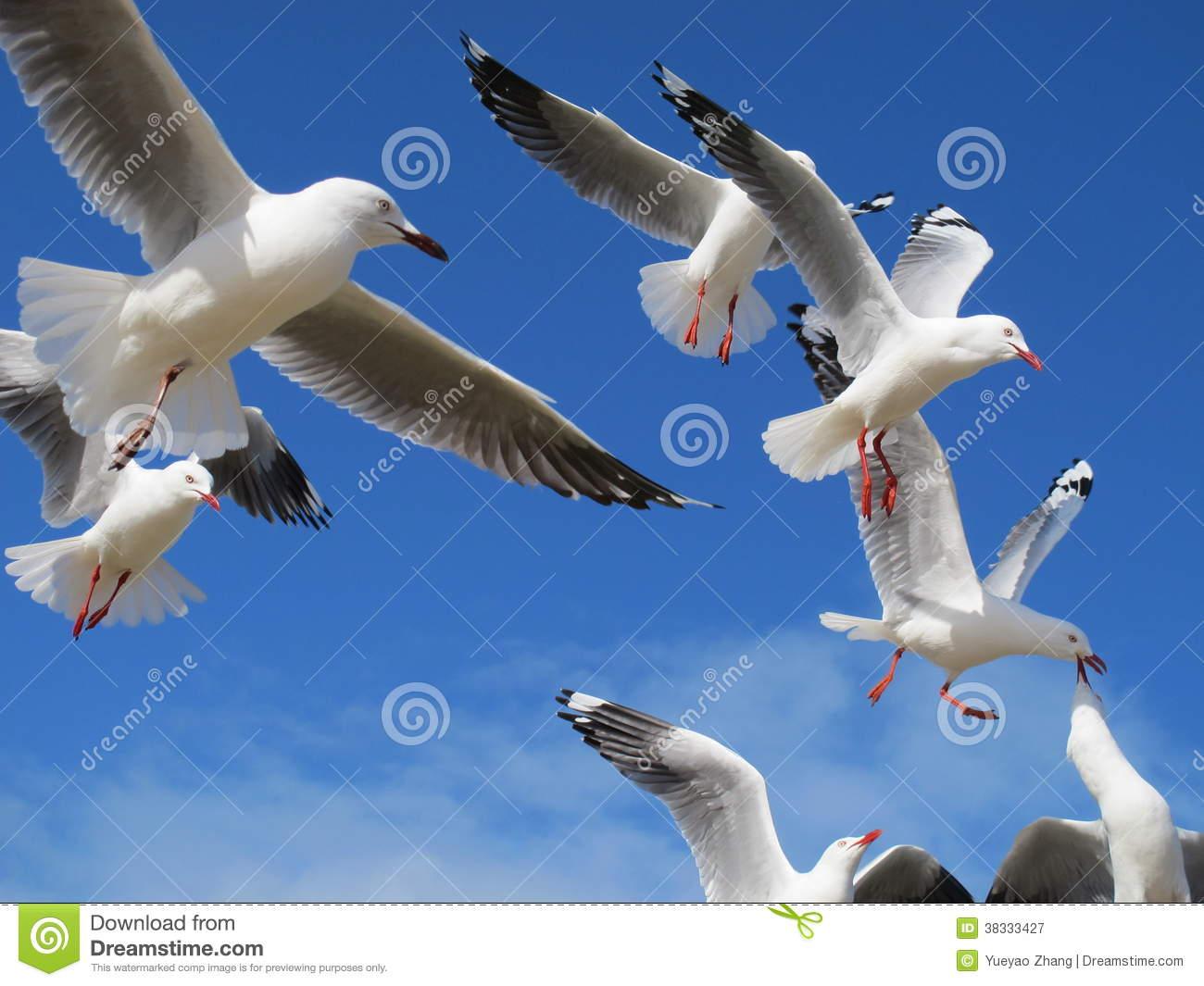 Royalty Free Stock Photography Flying Birds Some Near Phillip Island B...