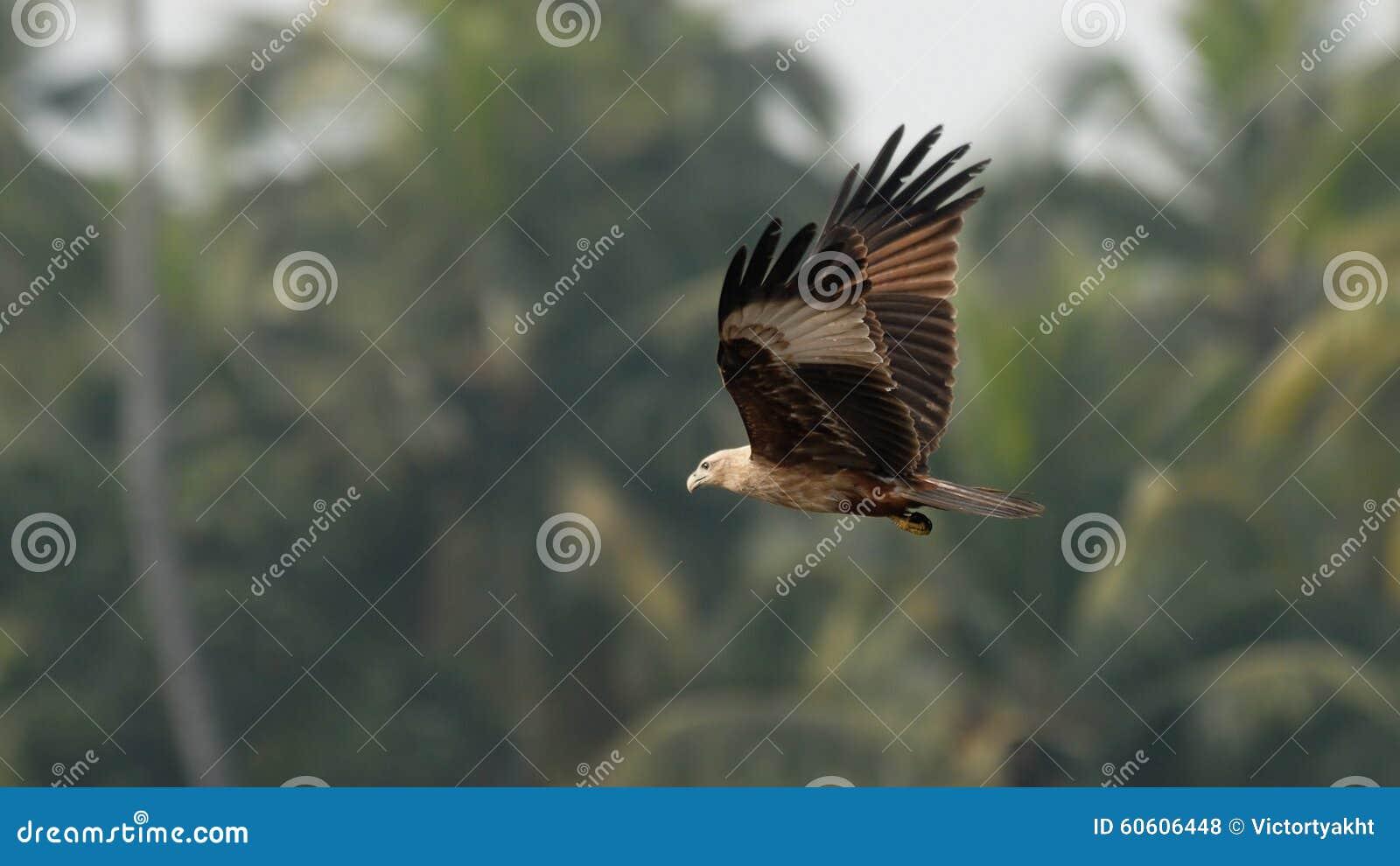 Flying Black Kite at palms background