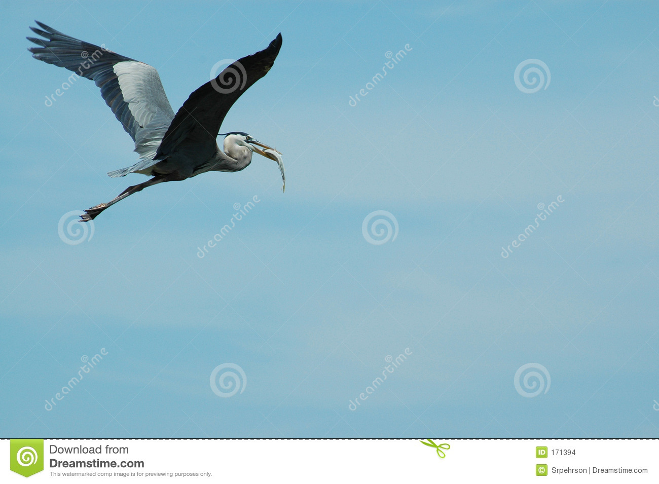 Flying blue heron with catch