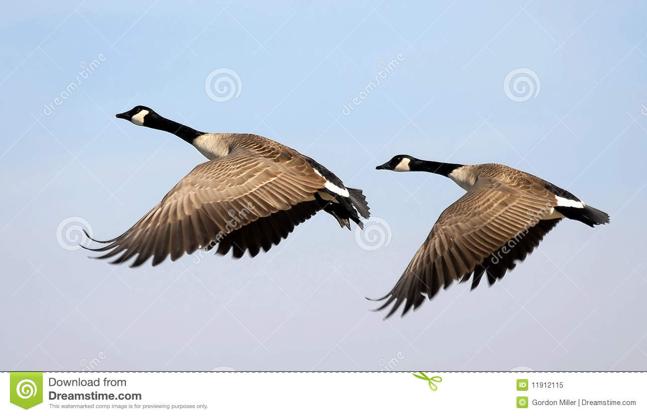 Download Flying Canada Geese stock image. Image of bill, departure - 11912115