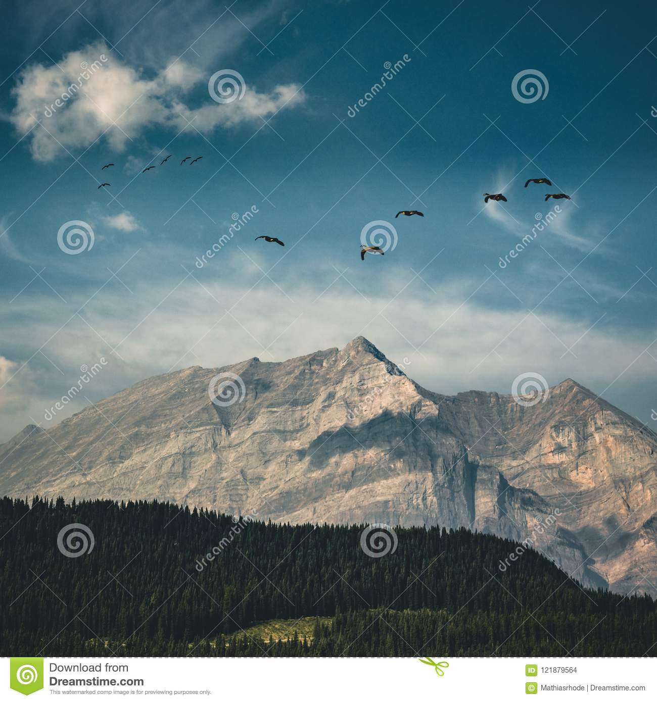 Flying Canadian geese on a blue sky over the Rocky mountains and Bow lake coniferous woods. Rocky mountains, Alberta