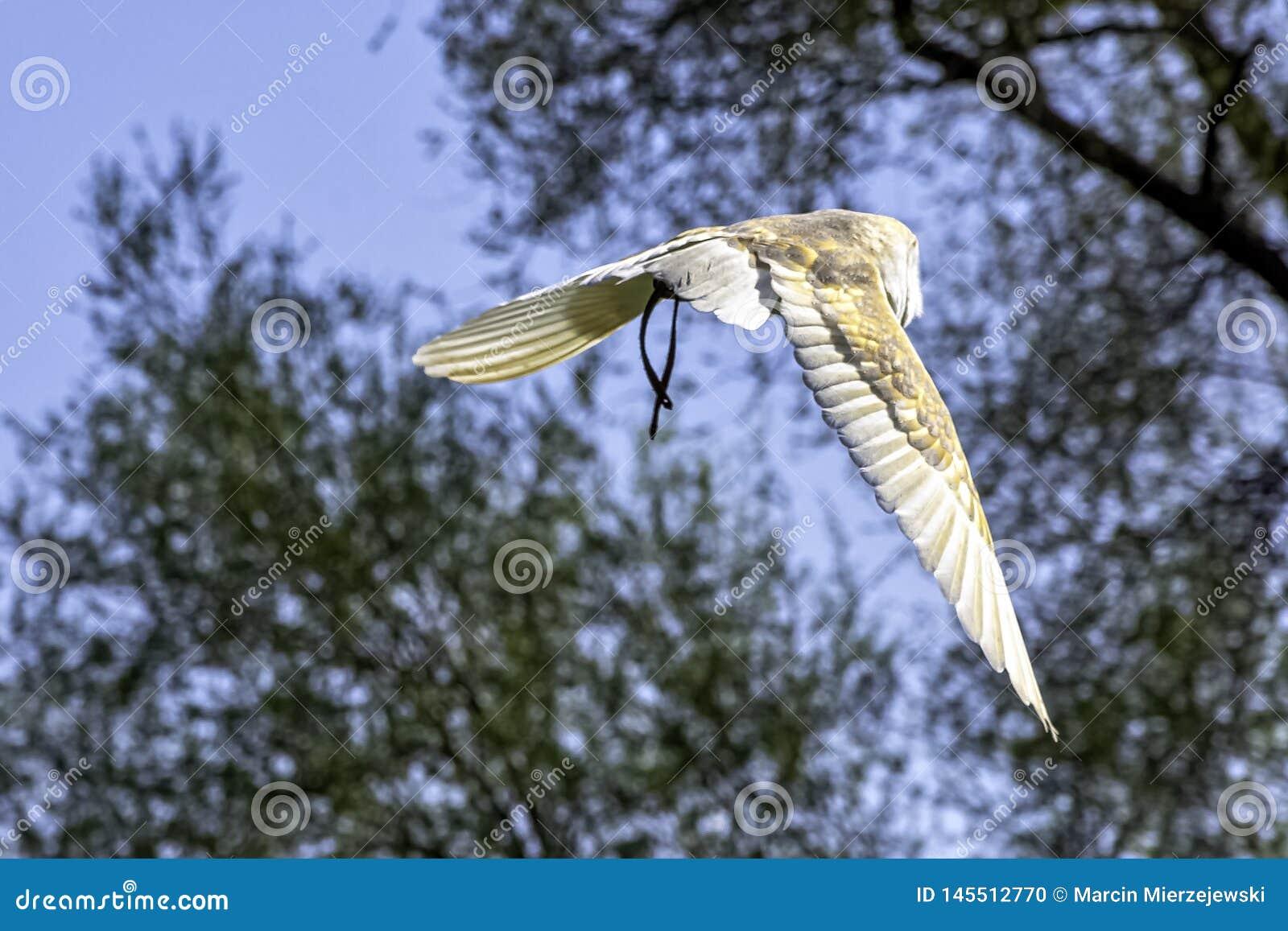 Flying Common Barn Owl Tyto Alba In Warwick, UK Stock ...