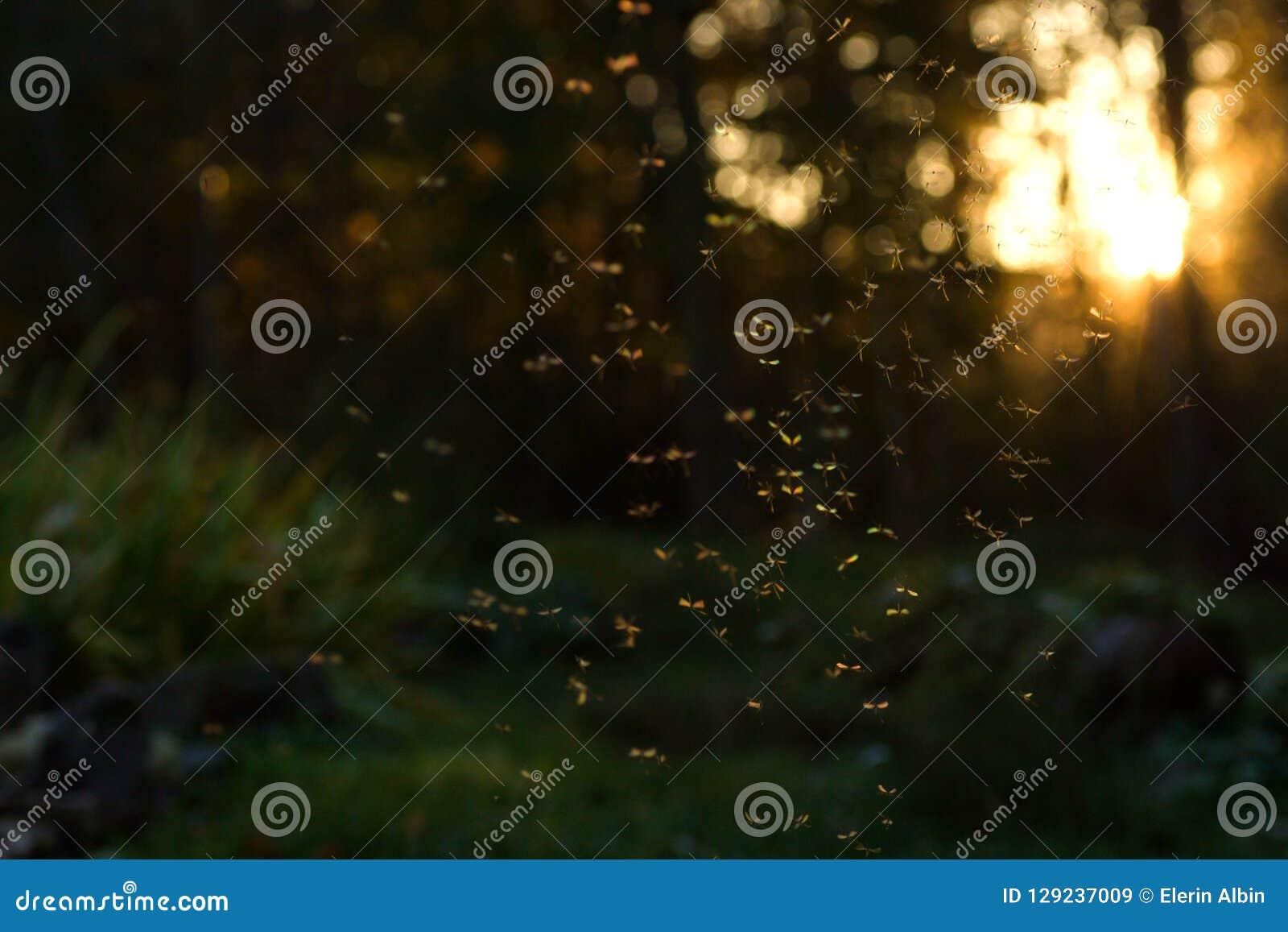 Swarm of crane flies
